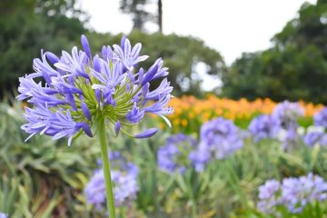 purple-agapanthus-in-sydney-australia-by-nightowl-photography-and-designs