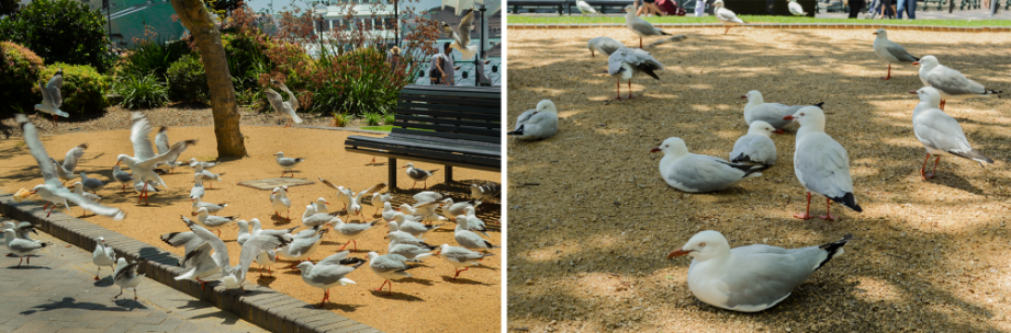 seagulls-at-first-fleet-park-circular-quay-by-nightowl-digital-photography-and-designs