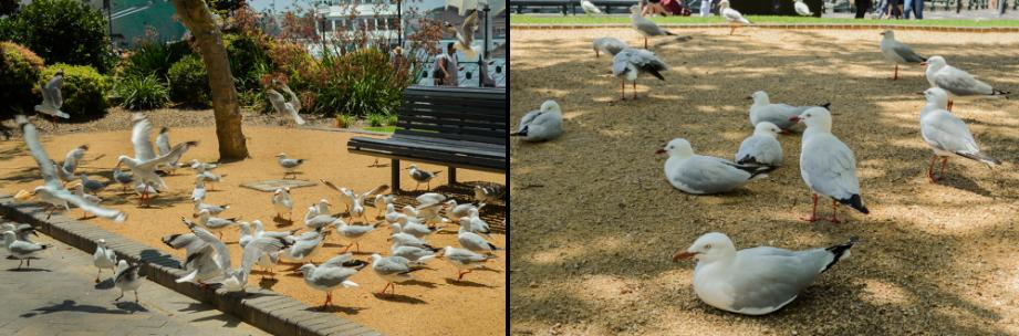 seagulls-at-first-fleet-park-circular-quay